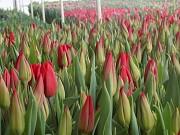Тюльпаны оптом Белореченск