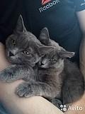Отдам кошек, цвет серый, 7 месяцев, в хорошие руки Курган