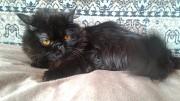 Персидский кот Барнаул
